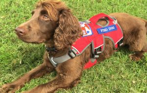 Jerry in his PTSD assistance dog harnass